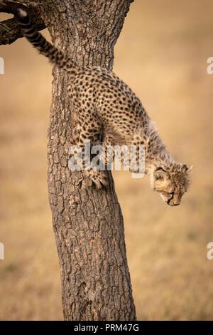 Cheetah cub bereit von Baum zu springen - Stockfoto