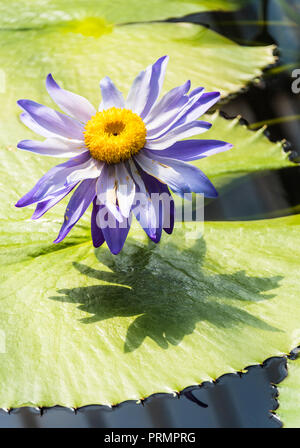 Seerosen in Kew Gardens, London, England - Stockfoto
