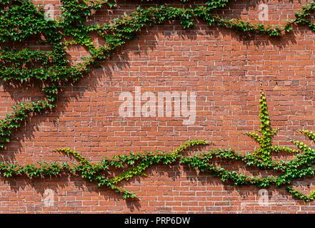 Grüne Efeu an der Seite von Red Brick House Stockfoto