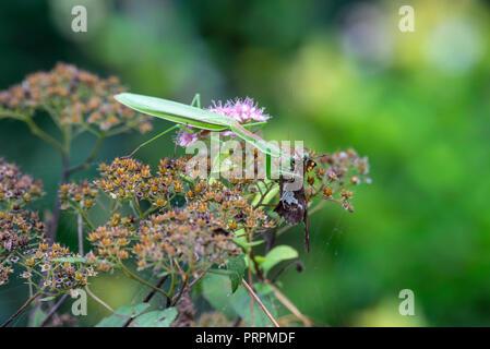 Gottesanbeterin essen silber getupft SKIPPER (EPARGYREUS CLARUS), Pennsylvania - Stockfoto