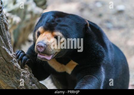 Die malayan Sun Bear Klettern im Baum in einem Zoo - Stockfoto