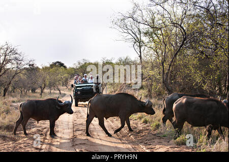 Besucher auf Safari finden Sie eine kleine Herde von Büffeln Überqueren der Straße vor Ihnen - Stockfoto