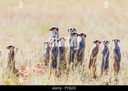 Botswana, Kgalagadi Transfrontier Park, Kalahari, Erdmännchen, Suricata suricatta - Stockfoto