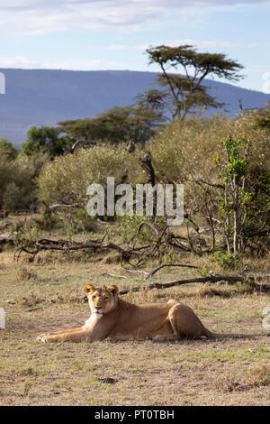Masai Mara National Reserve, Kenia, Afrika - Löwin in der frühen Morgensonne mit afrikanischen Landschaft hinter Lügen in die Na - Stockfoto
