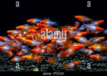 Xiphophorus helleri im Aquarium - Stockfoto