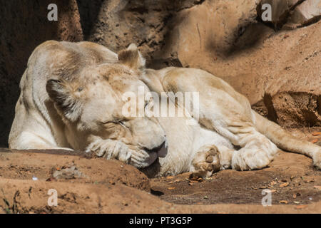 Weißen weiblichen Erwachsenen Löwe (Panthera leo) Schlafen mit Sonnenlicht auf Sand und Felsen im Hintergrund - Stockfoto