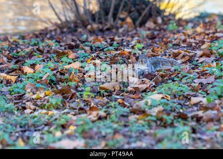 Graue Eichhörnchen Nahrungssuche im Herbst Blätter in St. Jame's Park, London - Stockfoto
