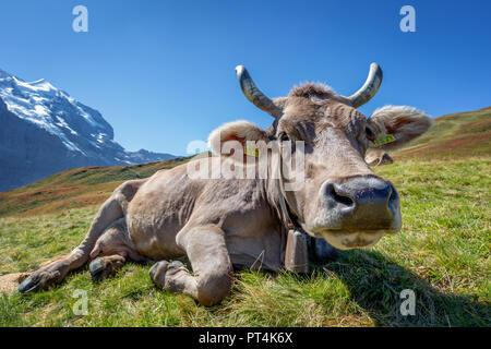 Schweizer Kuh in den hohen Bergen, Jungfrau Region, Kanton Bern, Schweiz - Stockfoto