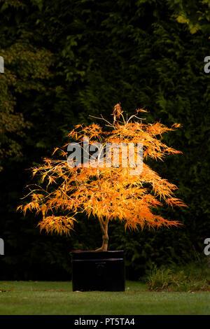 Acer palmatum var. dissectum 'Viridis' im Topf, Herbst, Herbst, UK Oktober, Blätter von grün zu gelb und orange. - Stockfoto