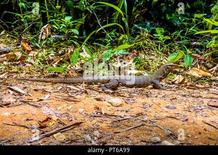 Varan Eidechse, Khlong Phanom Nationalpark, Kapong, Phang-nga Thailand - Stockfoto