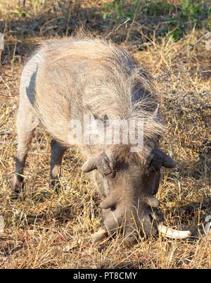 Warzenschwein - Stockfoto