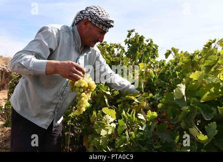 Sweida, Syrien. 8. Oktober, 2018. Ein Bauer erntet die Trauben in seinem Obstgarten in der Landschaft von Sweida, Syrien, am 7. Oktober, 2018. Landwirte in Sweida Provinz Syrien, das gut für eine der besten und süssesten Trauben im Land bekannt ist, begrüßen die Erntezeit für Trauben jedes Jahr um diese Zeit Traube Melasse zu machen, die traditionelle Küche, die seine Popularität im südlichen Syrien beibehalten hat. Credit: Ammar Safarjalani/Xinhua/Alamy leben Nachrichten - Stockfoto