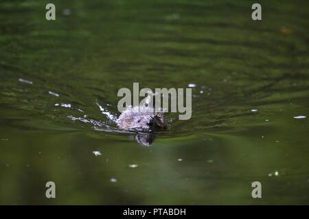 Eine Bisamratte schwimmt frontal in die Kamera (Deutschland). Ein Bisam schwimmt frontal in die Kamera zu (Deutschland). - Stockfoto