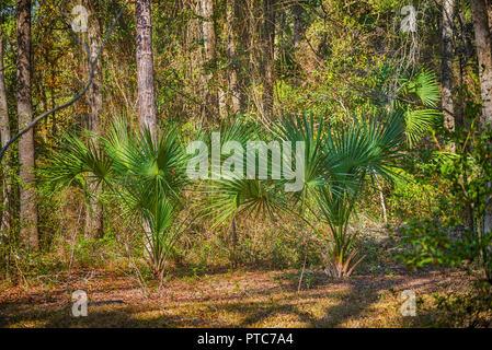 Sabal Palmetto Bäume in einem natürlichen bewaldeten Gebiet der North Central Florida. - Stockfoto