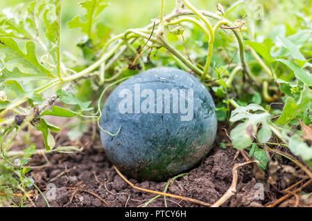 Kleine dunkle grüne Wassermelone Melone wachsende Pflanze Rebe in Garten Makro Nahaufnahme auf reichen dunklen Erde, Laub - Stockfoto