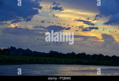 Spaltfußgänse, die sich in der Ausbildung bei Sonnenuntergang über dem Yellow Water Billabong, Kakadu Nationalpark, Northern Territory, Top End, Australien fliegen - Stockfoto