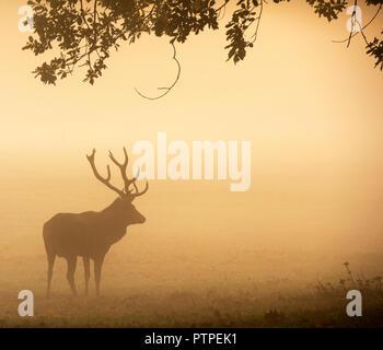 Deer Hirsch auf einem nebligen Herbstmorgen bei Wollaton Park, Nottingham, Nottinghamshire England UK Silhouette - Stockfoto