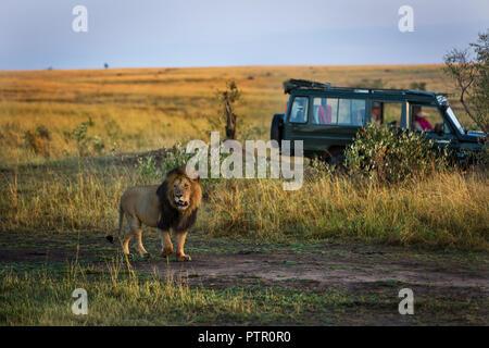 Schöne Löwe mit einer Safari Auto im Hintergrund in Kenia, Afrika - Stockfoto