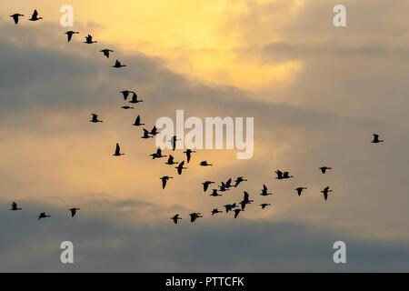 RSPB Marshside, Lancashire. UK Wetter 11 Okt 2018 Bewölkt Start in den Tag als rosa Fuß Gänse verlassen Ihre roost bei Sonnenaufgang. Migration beginnt im frühen Herbst in das Überwinterungsgebiet, der fast ausschließlich in Großbritannien sind. Rosa-Gänse migrieren in Herden, die Zahl in der vielen tausend Derzeit kann die Zählung in diesem Bereich ist ein etwa 12.000 Vögel. Kredit; MediaWorldImages/AlamyLiveNews. - Stockfoto
