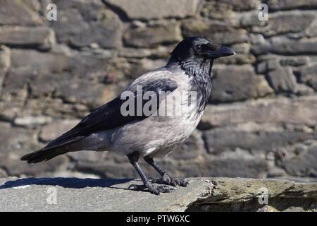 Rabe oder Krähe auf Fuerteventura - Corvus Corax - Stockfoto