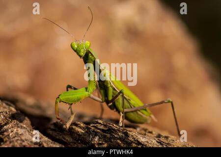 Grüne Gottesanbeterin mit Blick auf die Kamera schließen bis auf einem felsigen Hintergrund - Stockfoto