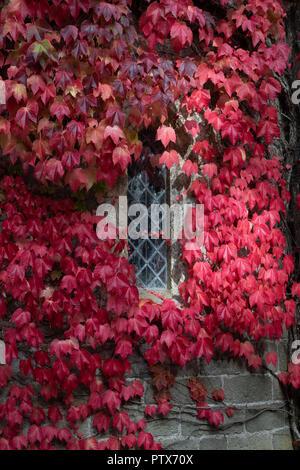 Kriechgang Kletterer Blätter im Herbst rot schloss Fenster - Stockfoto