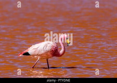 Ein rosa Flamingo in einer roten Farbe See in Bolivien - Stockfoto