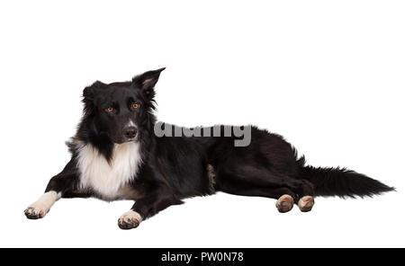Aufmerksame reinrassigen Border Collie Hund liegend auf dem Boden ein Ohr geknickt, volle Länge Porträt zu Kamera auf weißem Hintergrund. - Stockfoto