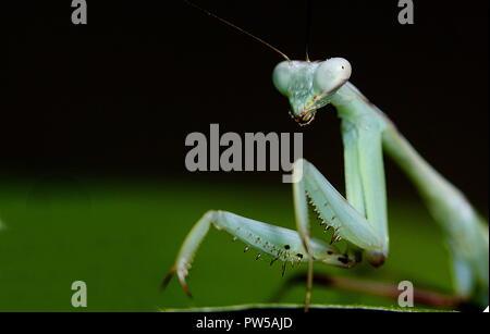 Hierodula membranacea riesigen asiatischen Mantis - Stockfoto