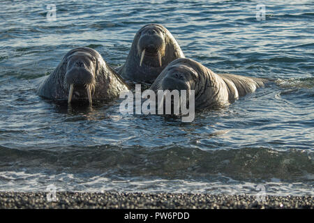 Walrosse (Odobenus rosmarus), Moffen Insel, Moffen Nature Reserve, Inselgruppe Spitzbergen, Svalbard und Jan Mayen, Norwegen - Stockfoto