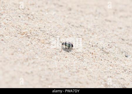 Metallic Violett und Grün Flea Beetle (Altica sp.) Kriechen auf Sandstein in den östlichen Ebenen von Kolorado - Stockfoto