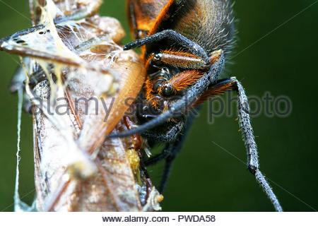 Eine Nahaufnahme eines großen weiblichen Spinne essen eine Heuschrecke whil hängend auf seiner Web. in Guayana fotografiert. - Stockfoto