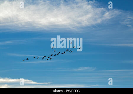 Graugänse (Anser anser). Strang auf der Flucht vor einem blauen Himmel und weiße Wolkenformationen. Auf der Suche nach Nahrung. Broadland. East Anglia. Norfolk. Das VEREINIGTE KÖNIGREICH. - Stockfoto