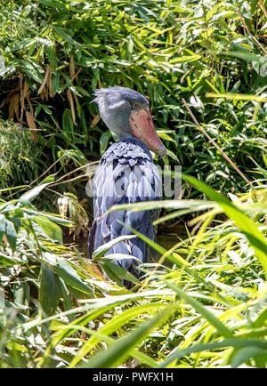 Schuhschnabel (Balaeniceps Rex), auch bekannt als Whalehead, im grünen Gras stehen. - Stockfoto