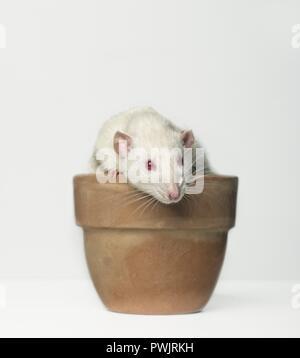 Niedliche Nagetier in einem Emty Blumenkästen - auf weißem Hintergrund. - Stockfoto