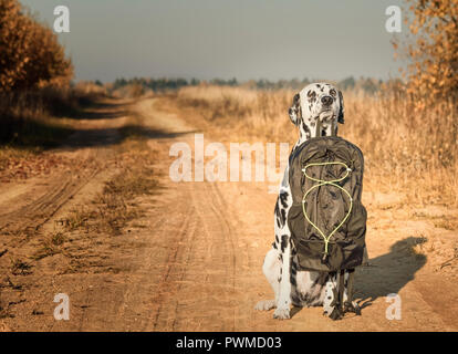 Dalmatiner Hund mit Tasche oder Gepäck ist mit auf Reise - Stockfoto