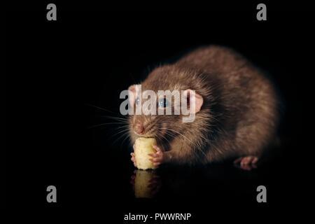 Nahaufnahme von einem Nagetier essen ein Stück Käse - auf schwarzem Hintergrund isoliert. - Stockfoto