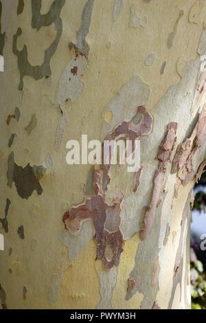 Big Plane Tree Trunk im Oktober, mehrfarbige platanus Platanen oder Rinde Baum Hintergrund - Stockfoto