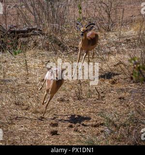 Gemeinsame Impala im Krüger Nationalpark, Südafrika; Specie Aepyceros melampus Familie der Hornträger - Stockfoto