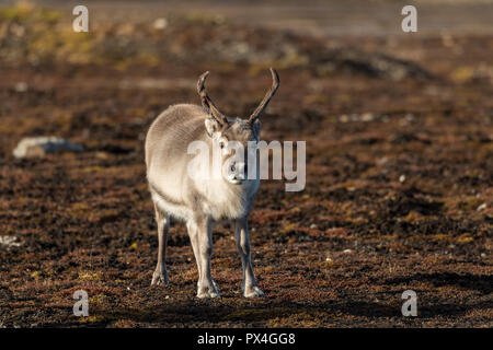 Svalbard Rentier (Rangifer tarandus platyrhynchus), Inselgruppe Spitzbergen, Svalbard und Jan Mayen, Norwegen - Stockfoto