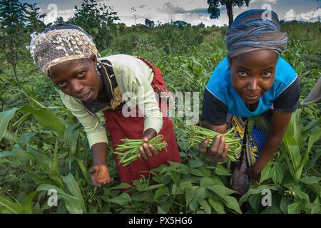 Bean Ernte in Machakos, Kenia. - Stockfoto