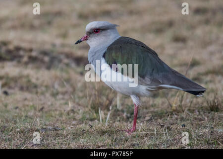 Andenländer Kiebitz (Vanellus resplendens) im grünen Felder in der Nähe von Cusco, Peru. - Stockfoto