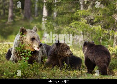 In der Nähe der weiblichen Eurasischer Braunbär (Ursos arctos) und ihre verspielten Jungen im borealen Wald, Finnland. - Stockfoto