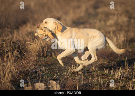 Gelbe Labrador Retriever zurück nach Handler mit Spiel während der 2018 italienischen Retriever Championship - Stockfoto