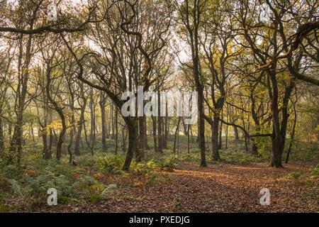 Dappled Sonnenlicht in nebligen Herbst fällt auf Bäume & Teppich der Blätter im malerischen ruhigen Waldgebiet - Middleton Woods, Ilkley, West Yorkshire, England, UK. - Stockfoto