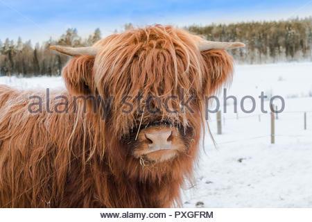 Porträt eines Highland Cattle in einer Winterlandschaft - Stockfoto