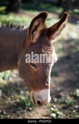 Nahaufnahme von einem Esel Kopf im Profil - Stockfoto