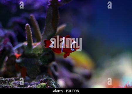 Red Maroon clownfish in isolierten Szene Moment im Meerwasser riff Aquarium Tank - Stockfoto