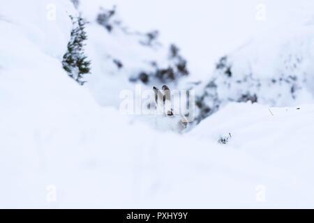 White Mountain Hase sitzend auf Schnee in den cairngorms in Schottland. Diese sind Wild Mountain Hasen und sind native zu den Britischen Inseln. - Stockfoto