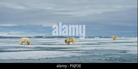 Eisbären (Ursus maritimus), junge Tiere auf der Weide auf dem Kadaver eines erfassten Dichtung im Schnee, Mutter Tier in der Rückseite - Stockfoto